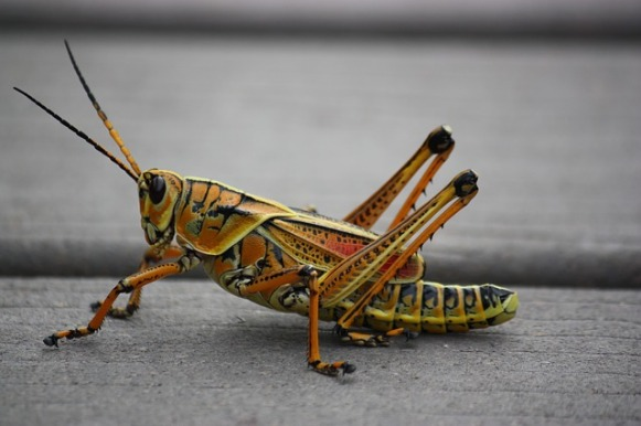 grasshopper-249115_640