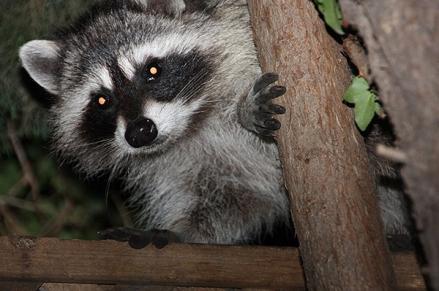 Raccoons_600p